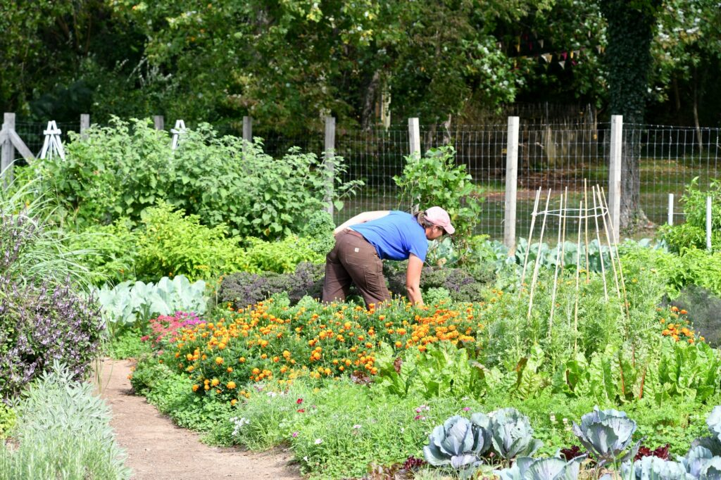 A woman working in a community garden harvesting colorful vegetables for a healthy salad or meal.
